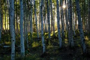 Birch in the summertime