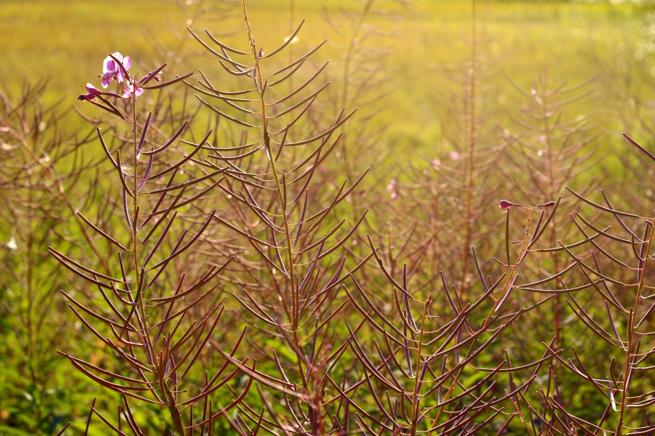 Fireweed and the light