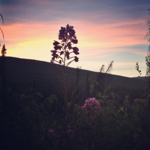 Fireweed And the sunset